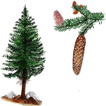 L Abete Rosso Picea Abies Karsten Agenda Delle Mamme